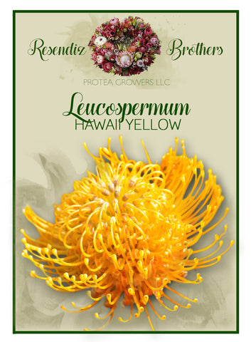Leucospermum Hawaii Yellow Seeds - 8 pk