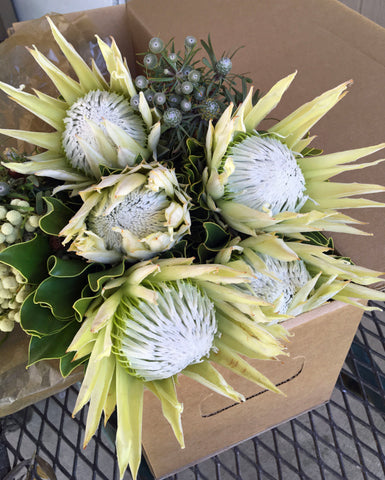 Gift Box - 5 stem Kings Protea Arctic Ice