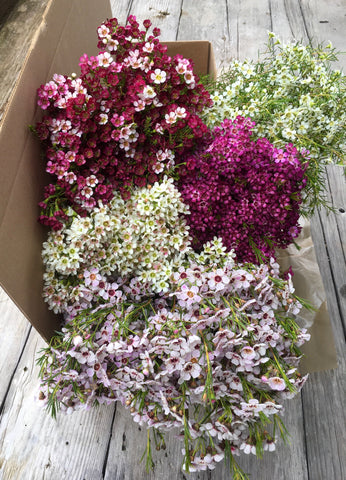 Gift Box - Assorted Waxflower