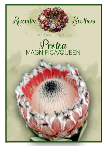 Protea Queen Seeds - 8 pk