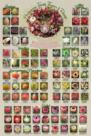 Proteaceae Family, Flowers & Foliage Poster Print