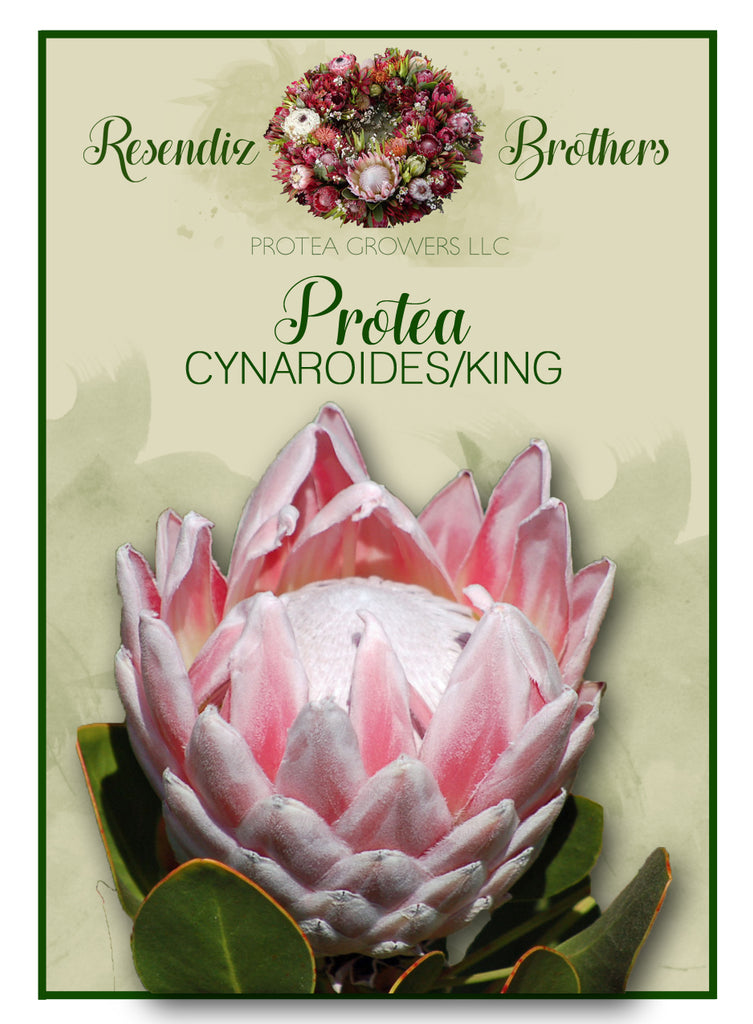 Protea King Seeds - 8 pk
