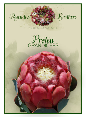 Protea Grandiceps Seeds - 8 pk