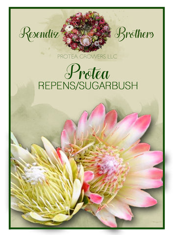 Protea Repens Seeds - 8 pk