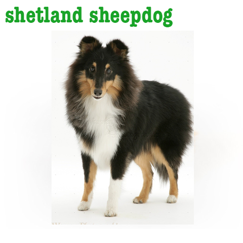 Sheltand Sheepdog