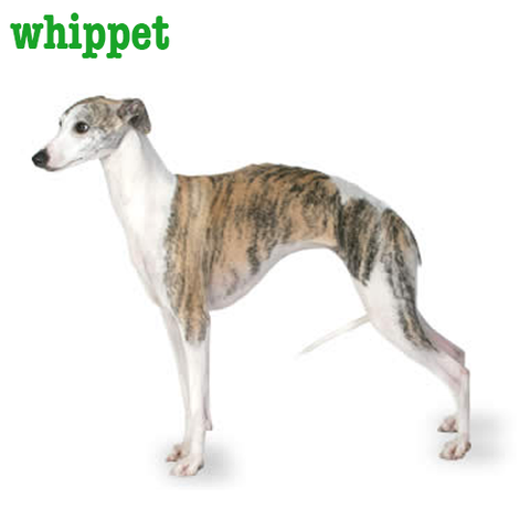 Whippet Collection