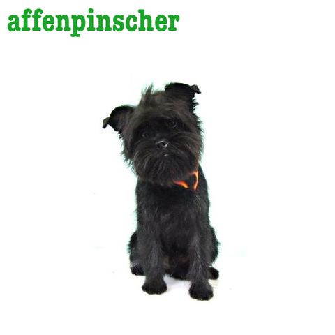 Affenpinscher Collection