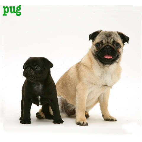 Pug Collection