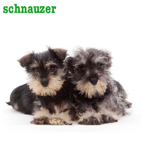 Schnauzer Collection