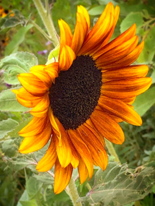 Nashville Magnets | Sunflower In Bloom