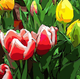 Nashville Artist | Red Tulips with White Edges