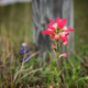 Nashville Photographer | Indian Paintbrush Flower