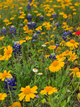 Texas Photo | Texas Wild Flowers