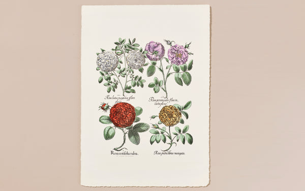 Italian Hand-Coloured Woodblock Print, Roses