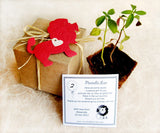 Recycled Ideas Favors plantable paper red lion with card, plantable pot and box