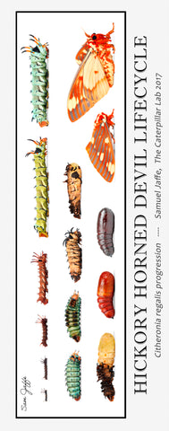 Hickory Horned Devil / Regal Moth Lifecycle Poster 13x30""