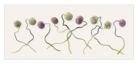 Limited Edition Framed Photographic Print - Entangled Allium