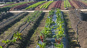 plastic mulch and drip irrigation in farm setting