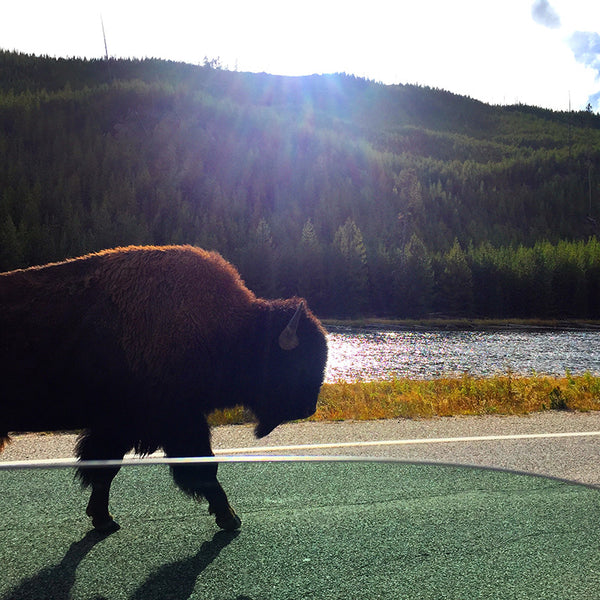 Less than 10 feet away from a Bison in the road in Yellowstone National Park