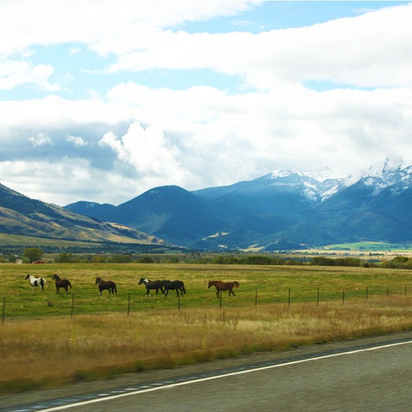 Mountains peek in the distance while horses run through farmland in Montana on the road to Yellowstone National Park