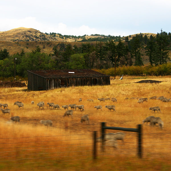 Sheep graze on a Montana farm on the road to Yellowstone