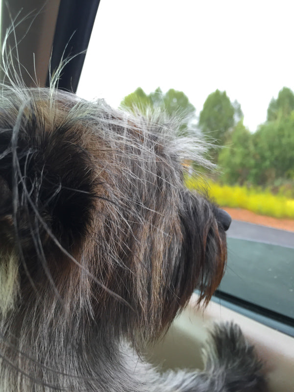 Winston, my dog, looks out of the car window on our USA road trip