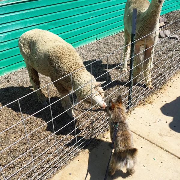 My dog meeting sheep at a remote rest stop in Idaho