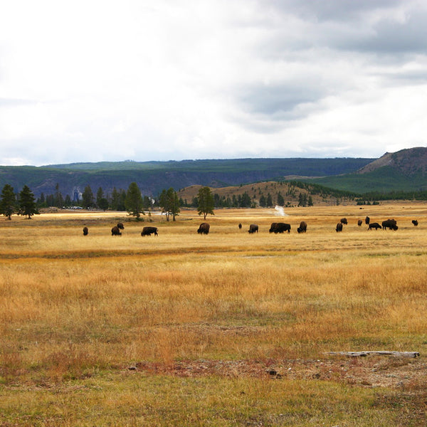 Enormous wild Bison graze all over Yellowstone National Park