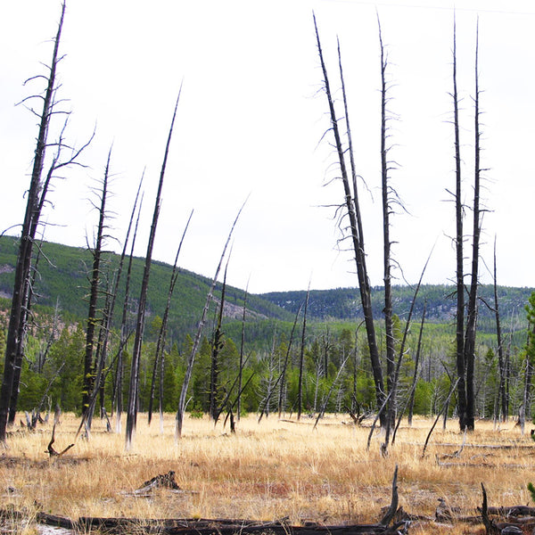 With all the geothermal activity there is an abundance of dead trees in Yellowstone.