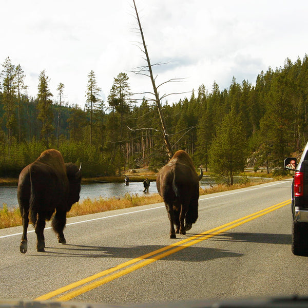 Bison walk down the middle of the road while cars pass in Yellowstone National Park