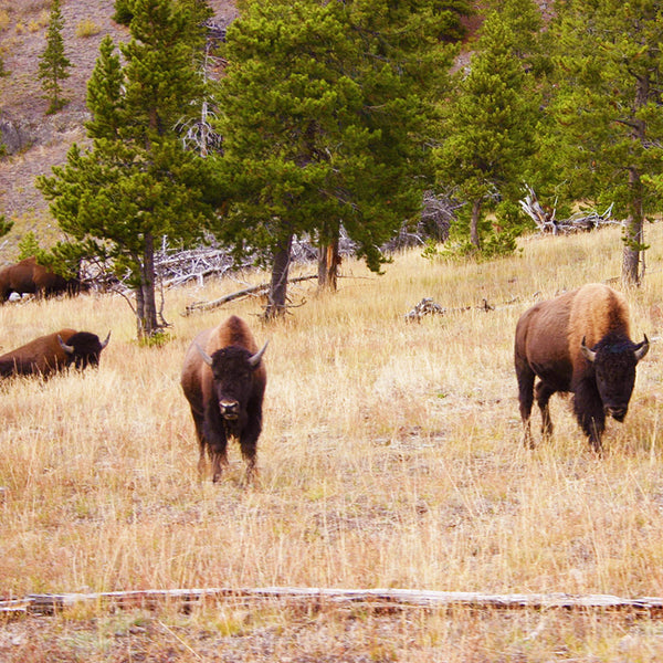 Bison come very close to roadways in Yellowstone National Park