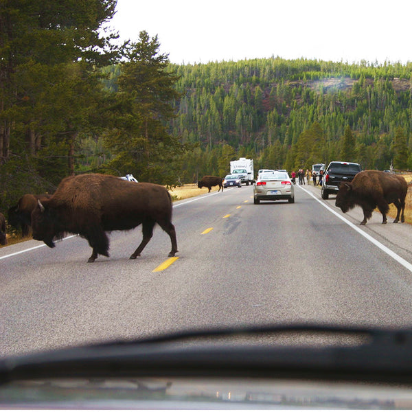 Bison walk across the road in yellowstone National Park