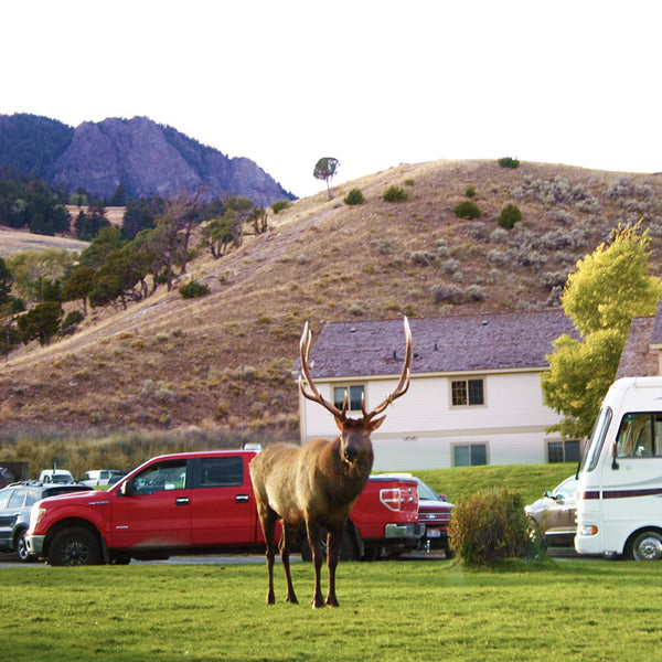 A large wild Elk stands near the campground in Yellowstone National Park