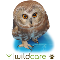 Saw Whet Owl Merchandise