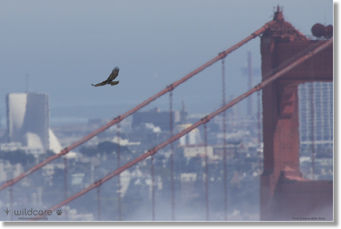 Golden Gate Bridge Hawk Canvas (+$25 donation)