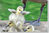 Goslings Canvas (+$25 donation)