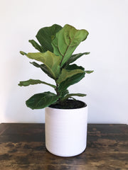 Fig House Plant