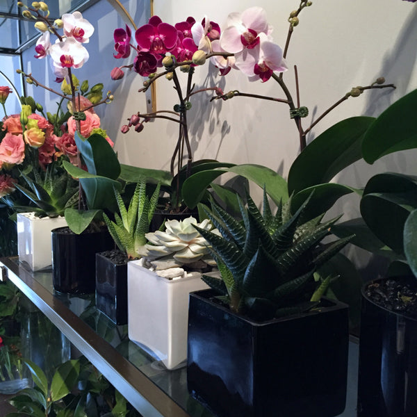 NYC Orchid Plants Buy Online Anissa Rae Flowers