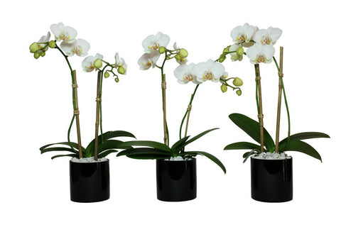 Three Individual Mini White Orchid Plants in black glass vases