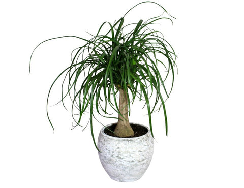 Ponytail Palm Plant in a Ceramic Whitewashed Planter