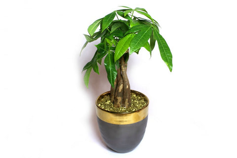 Single Money Tree Plant in Charcoal Ceramic Container