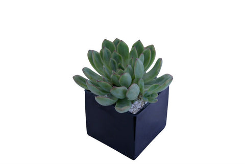 Single mini succulent in square black glass container