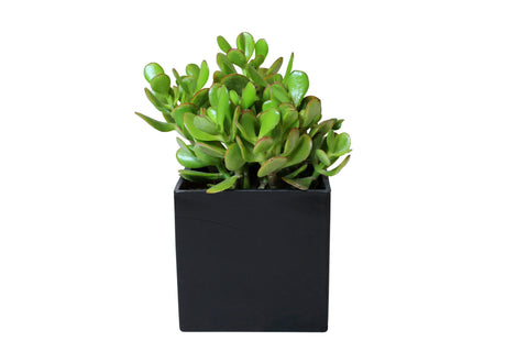 Jade Plant in Square Black Vase