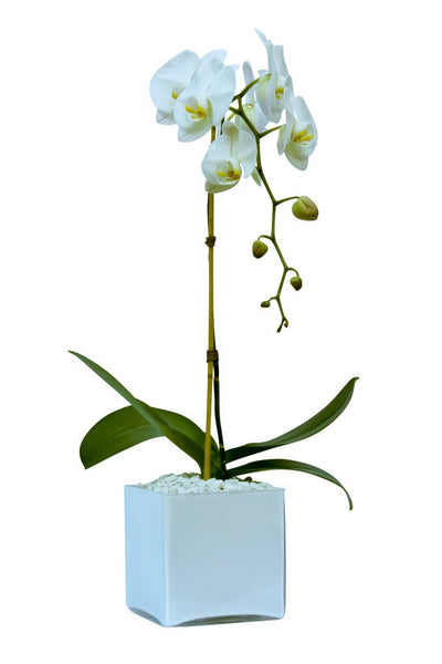 Resilient Long Lasting flowering orchid plants delivered in NYC