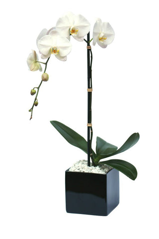 Single white orchid plant in black square planter with white stones.