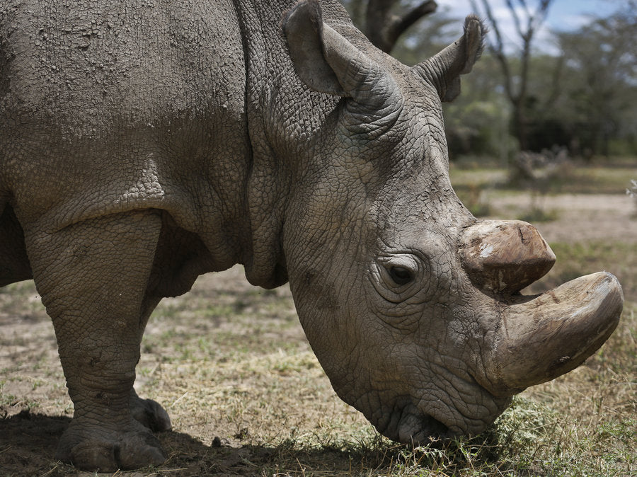 the northern white rhino faces extinction