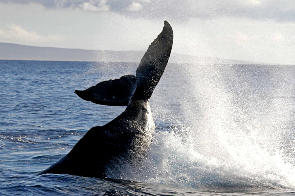 a breaching whale splashes in the blue ocean water