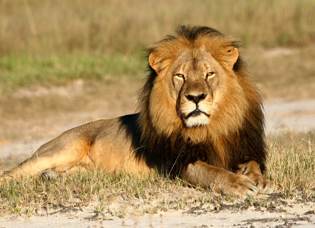 cecil the lion pictured in the grass