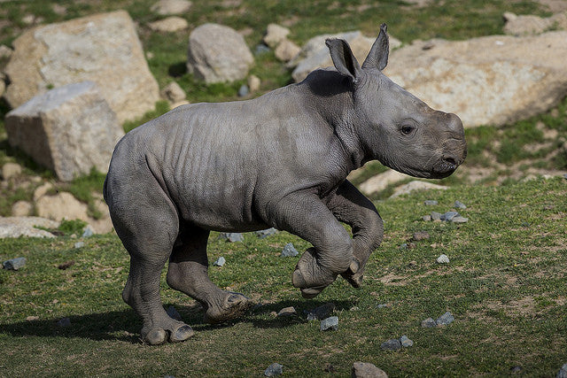 Newborn southern white rhino's birth gives endangered species hope