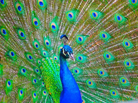 two peacocks killed by humans at China's Yunnan Wild Animal Park